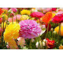 field of multicoloured cultivated Buttercup (Ranunculus) flowers Photographic Print