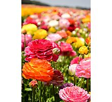 ield of multicolor cultivated Buttercup (Ranunculus) flowers Photographic Print