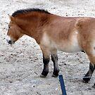 Przewalski's horse by nealbarnett