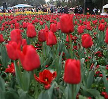 Floriade reds, Canberra,N.S.W. by elphonline