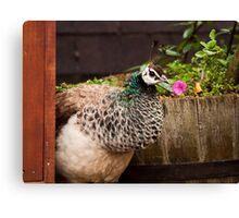 Peacock-a-boo Canvas Print