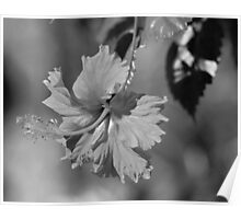 Ghost hibiscus Poster