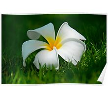 Frangipani flower on green grass Poster