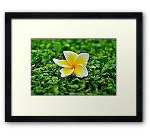 White frangipani flower on green leaves Framed Print