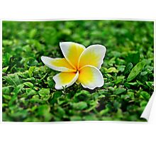White frangipani flower on green leaves Poster