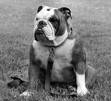 Bulldog by franceslewis