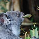 Hungry Koala by Alihogg