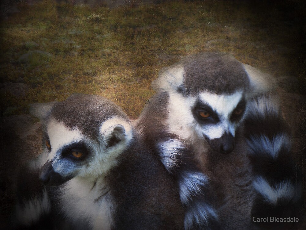 Ringtails by Carol Bleasdale