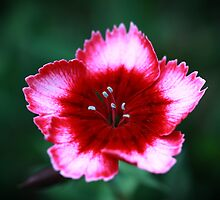 Dianthus by Keith G. Hawley