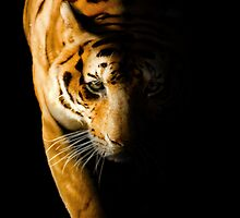 Prowling Tiger in Shadow by Norman Rawn