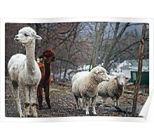 Alpacas and Sheep Poster