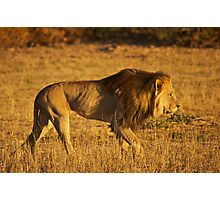 Kalahari Lion Photographic Print