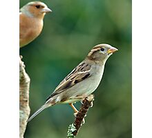 female Chaffinch Photographic Print