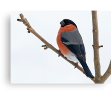 Bullfinch  Canvas Print
