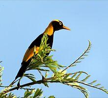 Regent Bowerbird 2 by paulinea