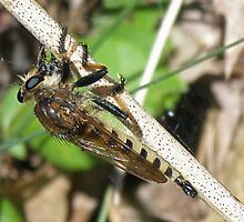 Robber Fly - Promachus rufipes by MotherNature