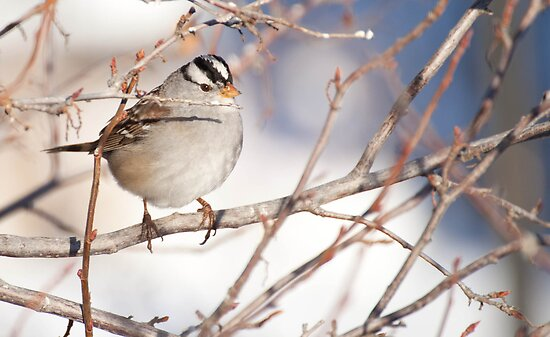 White Crown Sparrow - Colorado by Susan Humphrey