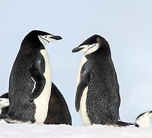 Chinstrap penguins (Pygoscelis antarctica). These birds feed almost exclusively on krill.  by PhotoStock-Isra