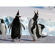 Gentoo penguins (Pygoscelis papua). Antarctica Photographic Print