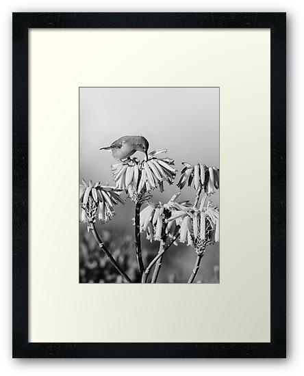 Malachite Sunbird (Juvenile) by Rashid Latiff