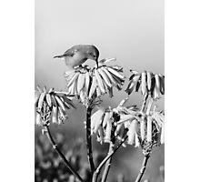 Malachite Sunbird (Juvenile) Photographic Print