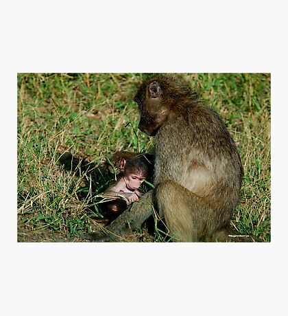 YOU TICKLE MY EAR, I TICKLE YOUR LEG! - THE CHACHMA BABOON - Papio ursinus Photographic Print