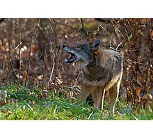 Hiking Is Really Tiring - Coyote Photographic Print