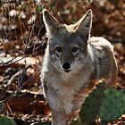 Curious Coyote by levipie