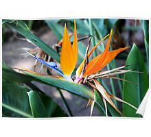 Bird of paradise in the garden Poster