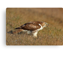 Red-tailed Hawk - juvenile Canvas Print