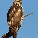 Red-tailed Hawk - juvenile by Jim Cumming