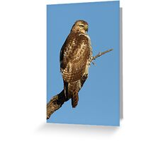 Red-tailed Hawk - juvenile Greeting Card