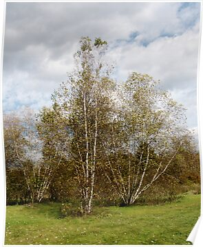 Birch Trees in Autumn by Barry Doherty