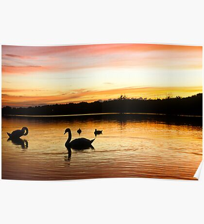 Bathing Swan silhouettes Poster