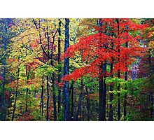 RED MAPLE,LITTLE RIVER ROAD Photographic Print