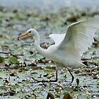 Egret with a snack by Keith McGuinness