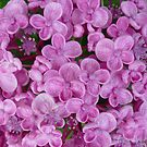 Purple Hydrangea by ange2