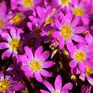 """Pink Wildflowers"" Western Australia by wildimagenation"