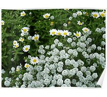 Daisies and Alyssum Poster