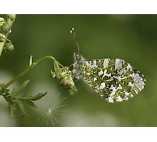 Female orange tip butterfly. Photographic Print