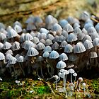 Mycena Filopes by Pandrot