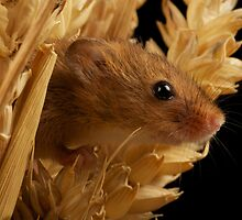 Harvest Mouse 1 by marktc