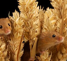 Harvest Mouse 2 by marktc