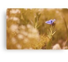 Male Common Blue Butterfly (Polyommatus icarus) Canvas Print