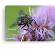 Calliphoridae, Blow-fly on thistle Canvas Print