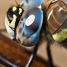 Dragonfly by Gert Lavsen