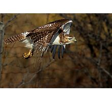 Red-tailed Hawk - Bullet Photographic Print