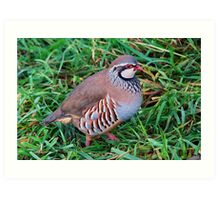 red legged partridge Art Print