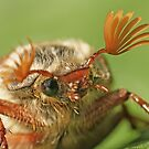 A Cockchafer prepares to fly by Robert Down