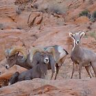 Big Horn Sheep Pose by djackson